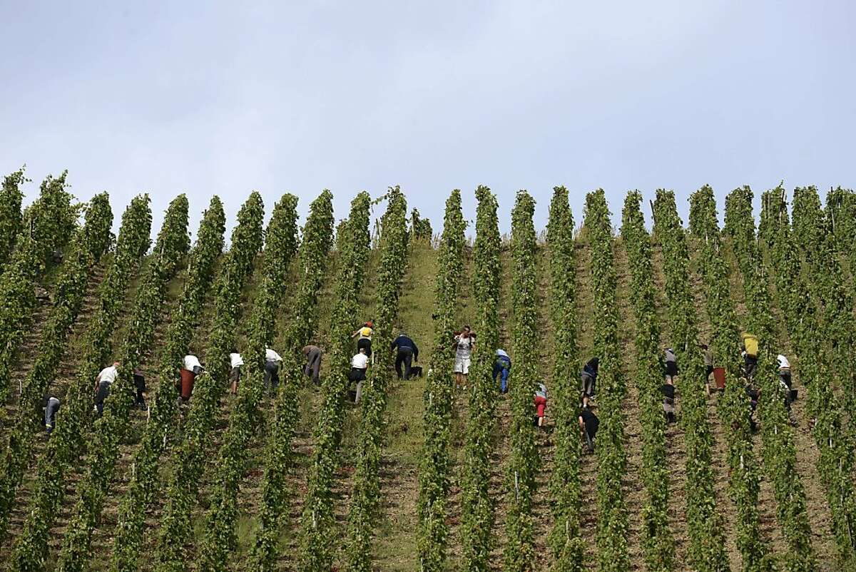 TOPSHOTS People are at work on October 3, 2013 during the harvest of the Appellation d'Origine Controlee Cote-Rotie vineyard in Ampuis near Lyon, southeastern France. AFP PHOTO/PHILIPPE DESMAZESPHILIPPE DESMAZES/AFP/Getty Images