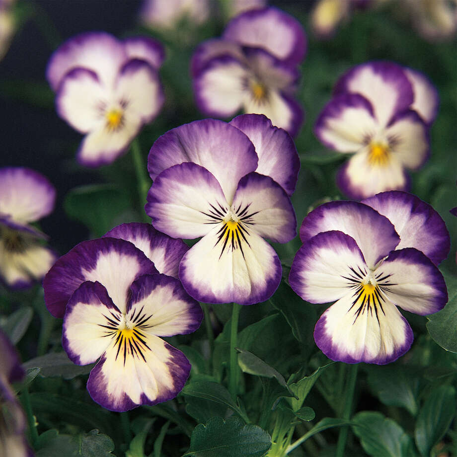 Sorbet 'Coconut Swirl' viola is one of many cultivars for fall-spring gardens. / handout
