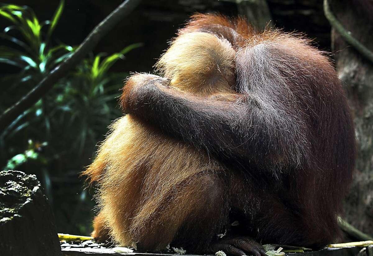 That's OK, son. Want a Life Saver? Bornean orangutans cuddle at the Singapore Zoo.