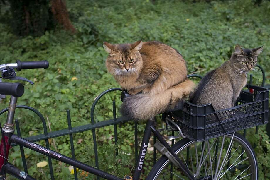 I thought we'd be moving by now: Two stray cats try to catch a ride on a bicycle that's locked to a fence in Amsterdam. Photo: Peter Dejong, Associated Press