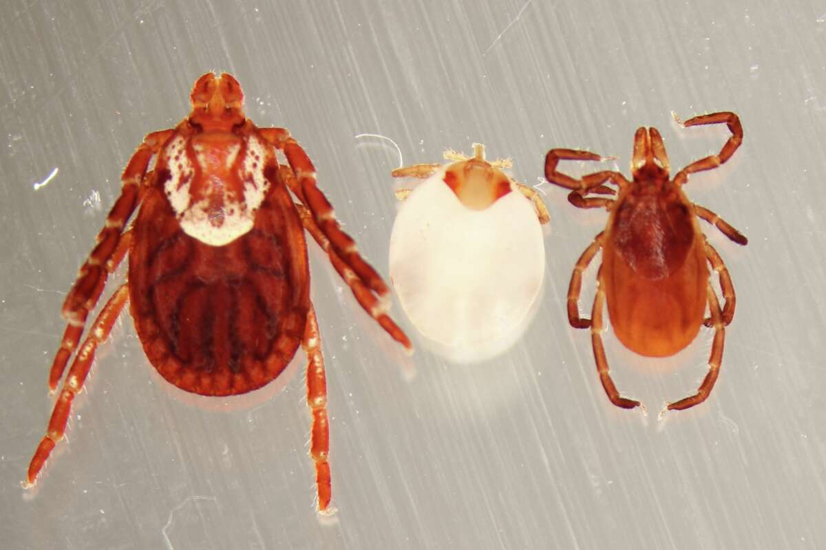 American dog tick (pictured: left) Diseases transmitted: Tularemia and Rickettsia rickettsii (Rocky Mountain spotted fever) Located: Most commonly found east of the Rocky Mountains and the Pacific coast. The greatest risk of being bitten is during the spring and summer. Source: CDC (Photo: Gabriel L. Hamer)