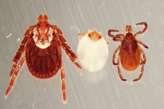 This photo shows an American dog tick, from left, a human nostril tick and a black-legged tick.