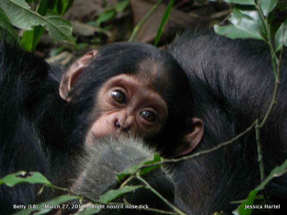 Betty, a chimpanzee in Uganda's Kabile National Park, has a tick that lives in her nose.