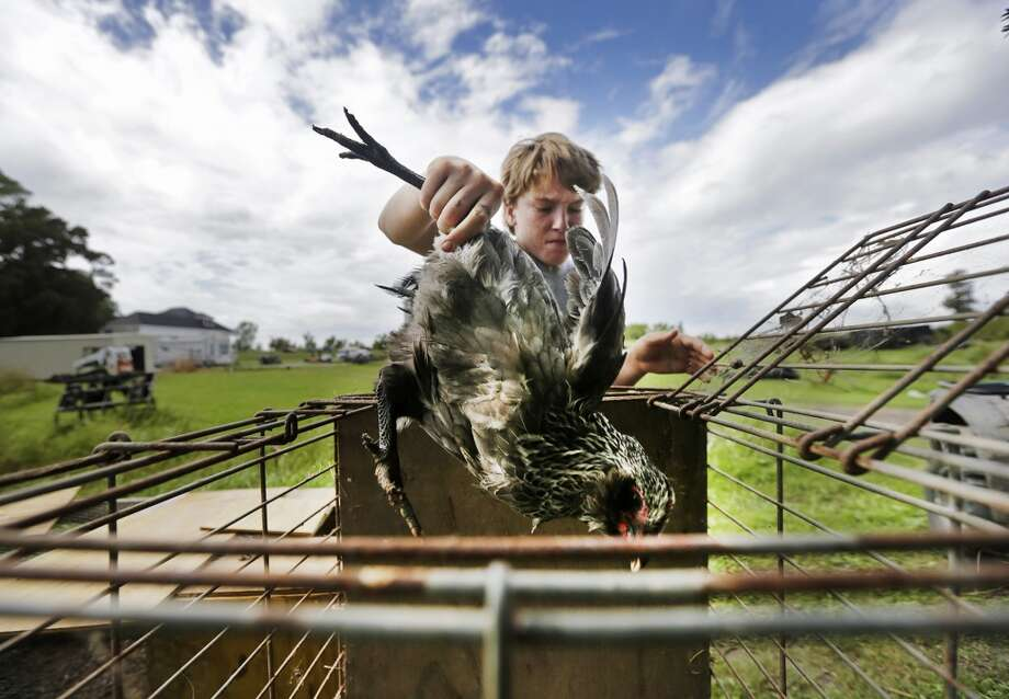 Louisiana: Damon Randazzo Jr., 14, carries chickens out of a barn as he and his family evacuate their farm animals in anticipation of Tropical Storm Karen near Braithwaite, La.. Photo: Chris Granger, Associated Press