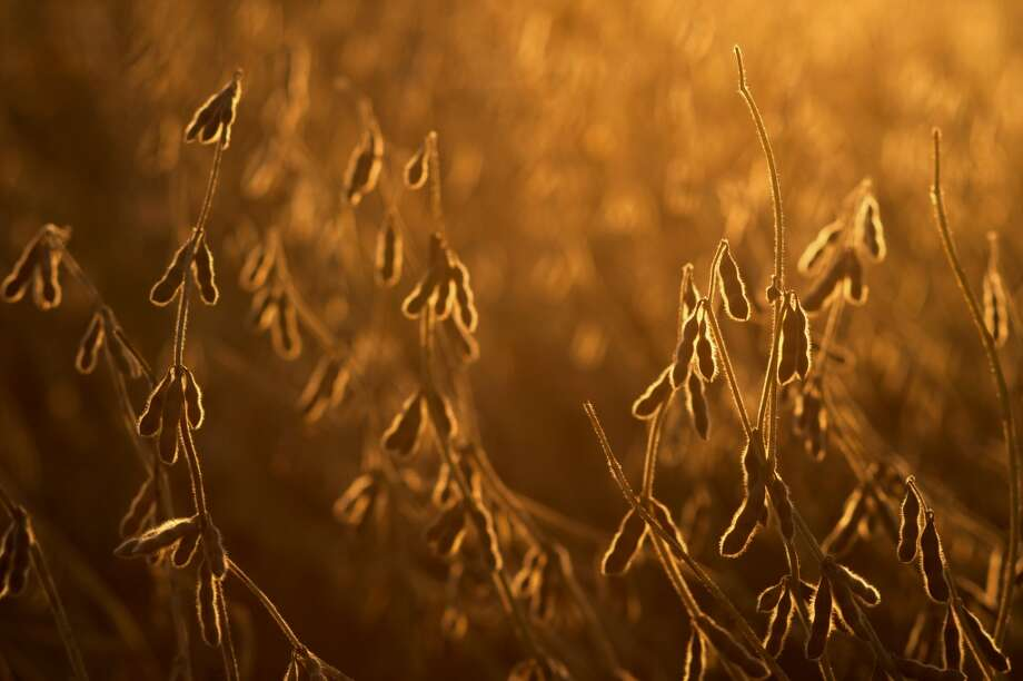 Ohio: Soybeans stand in a field during harvest at sunset on a farm in Fairfield County, Ohio. Soybeans advanced after dropping to the lowest level in a month as demand for U.S. supplies climbed amid concern that inventories are diminishing. Photo: Ty Wright, Bloomberg