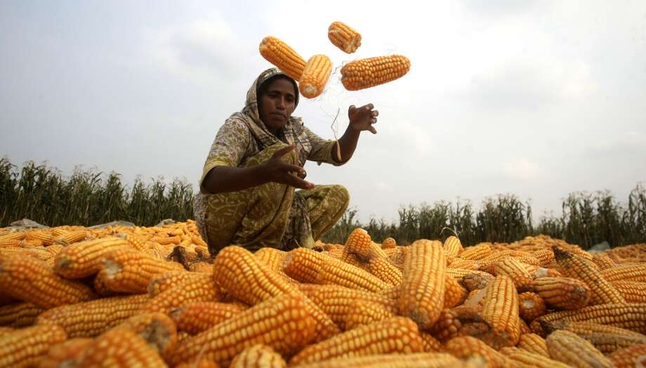 Pakistan: Pakistani farmer Hafizain sorts the corns in a field in the suburbs of Lahore, Pakistan. Large maize harvest not only helped local food companies raise production of corn flour, corn flakes and similar products, but also increased export earnings. Photo: K.M. Chaudary, Associated Press