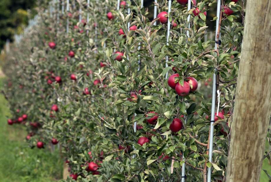New York: A new apple variety grows on a trellis at the Cornell University Fruit and Vegetable Research Farm in Geneva, N.Y. Photo: Heather Ainsworth, Associated Press