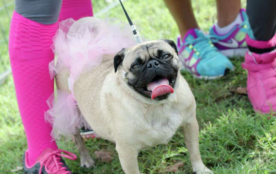 Even some four-legged friends came out in support during the Susan G. Komen Race For the Cure. Photo: Jamaal Ellis, For The Chronicle / ©2013 Houston Chronicle