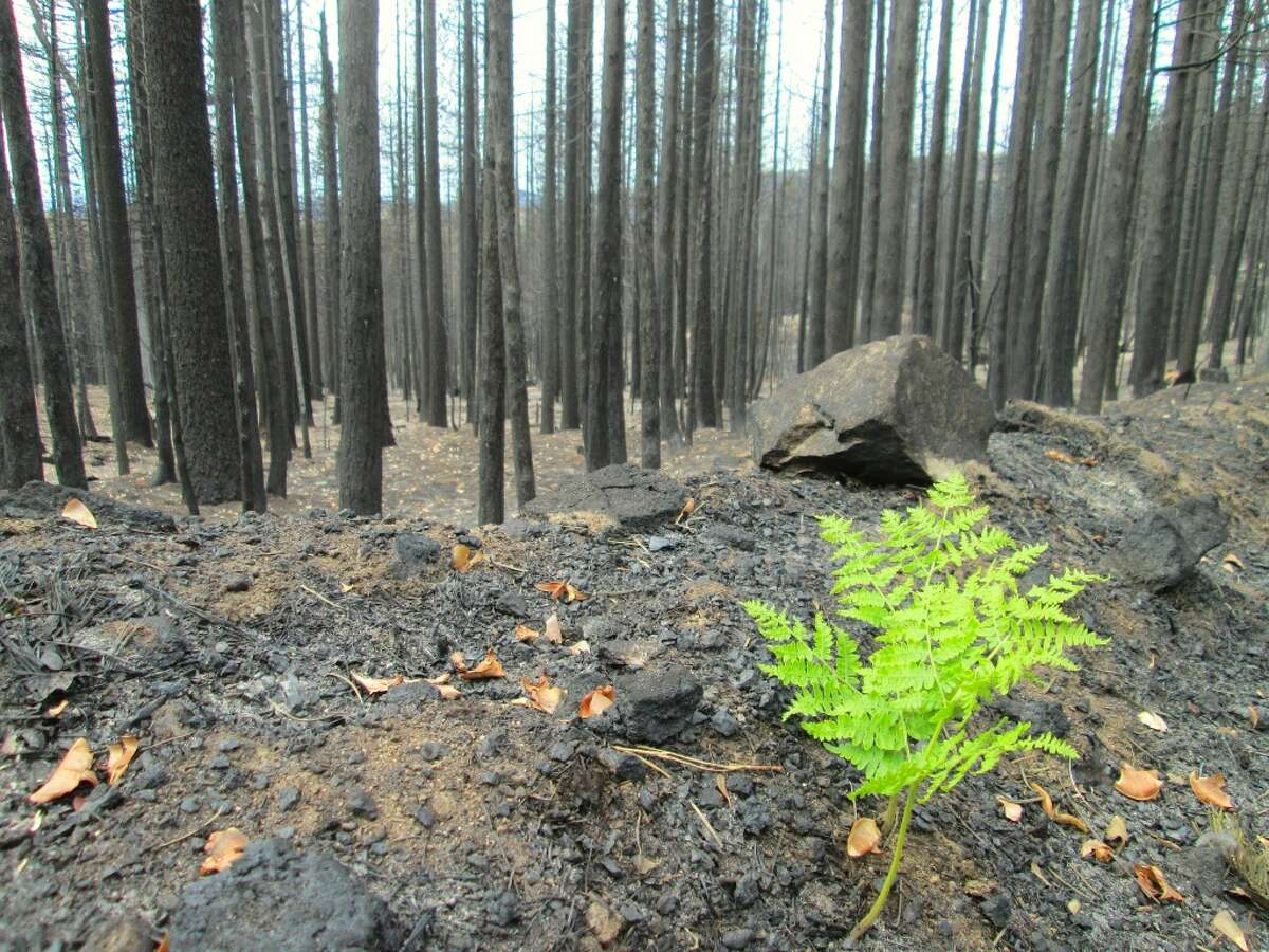 A bracken fern emerged from the ashes and unfurled new growth amid burn zone