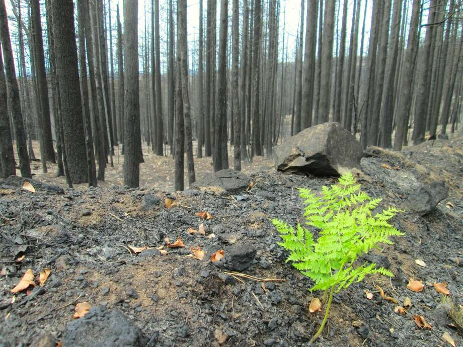 A bracken fern emerged from the ashes and unfurled new growth amid burn zone Photo: Tom Stienstra/The Chronicle