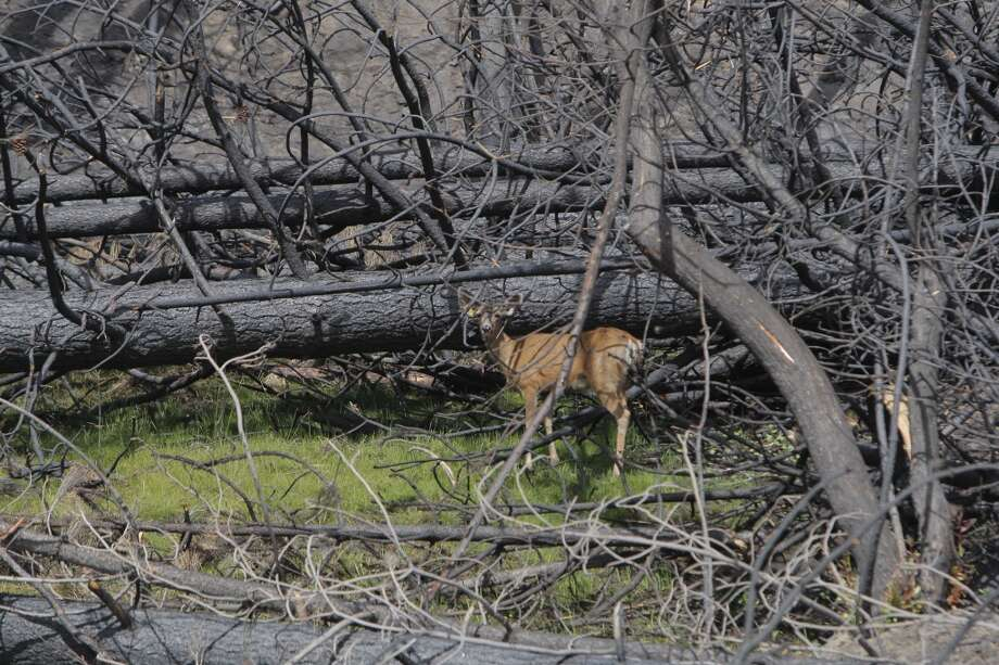 A lone doe found a freshly-sprouted patch of green, which emerged after a light rain Photo: Tom Stienstra/The Chronicle