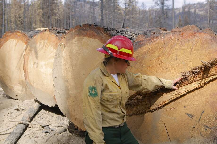 Keli Stafford of U.S. Forest Service examines huge pines recovered in salvage logging operations Photo: Tom Stienstra/The Chronicle