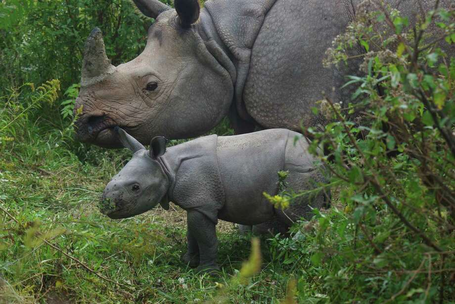 This Oct. 3, 2013 photo provided by the Columbus Zoo and Aquarium shows a female Indian rhino calf and it's mother at The Wilds preserve in Cumberland, Ohio. The endangered rhino, also called the Greater One-horned Rhinoceros, has been making a comeback with the help of conservation efforts, with more than 3,300 estimated globally. Photo: AP