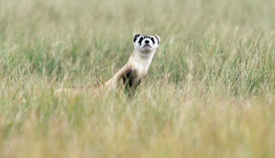 In this Oct. 4, 2013 photo, a black-footed ferret looks around after being released onto the Fort Belknap Reservation. The U.S. Fish and Wildlife Service released 32 endangered black-footed ferrets into a large prairie dog colony. Photo: AP