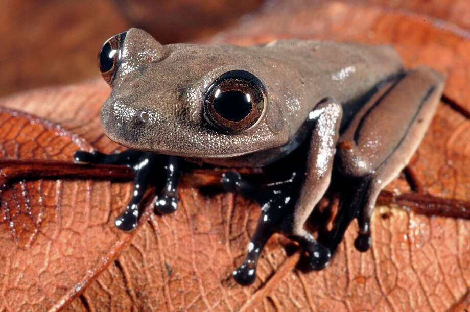 "In this handout photo released by Conservation International on Thursday, Oct. 3, 2013, a sleek chocolate-colored frog dubbed the ""cocoa frog,"" that may be new to science, is seen in Suriname. Biologists with the U.S.-based Conservation International say six frogs, 11 fish and numerous insects found in remote sections of Suriname's rainforest are among 60 creatures that may be new species. Photo: AP"