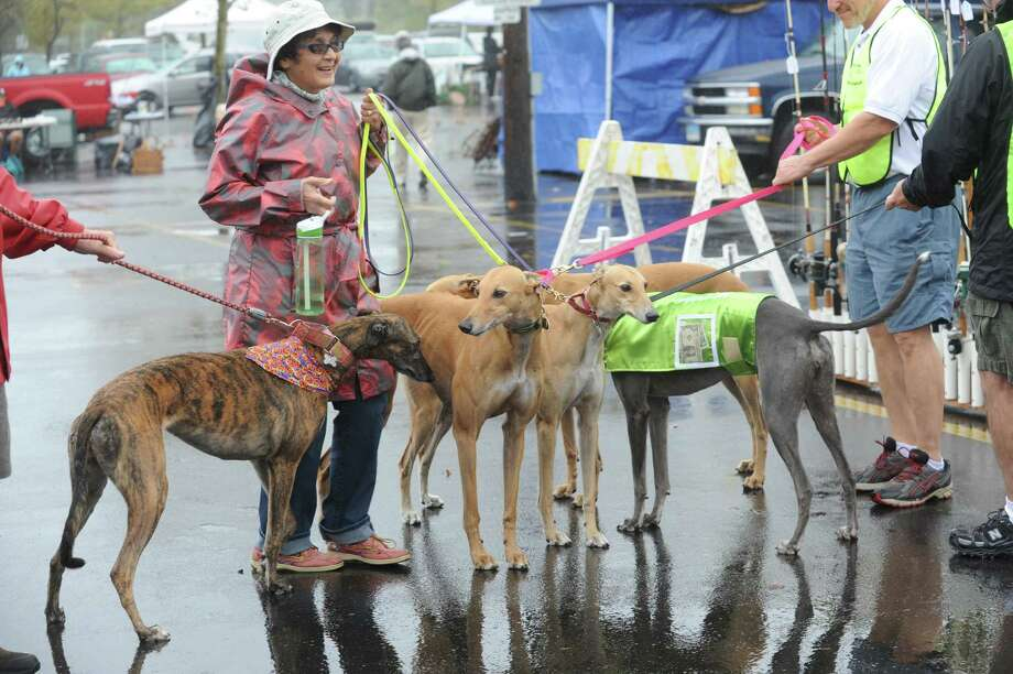 A group of rescue greyhounds came at Greenwich Knights of Columbus's Annual flea market at Island Beach parking lot, in Greenwich, Conn., Sunday, Oct. 6, 2013. Photo: Helen Neafsey / Greenwich Time
