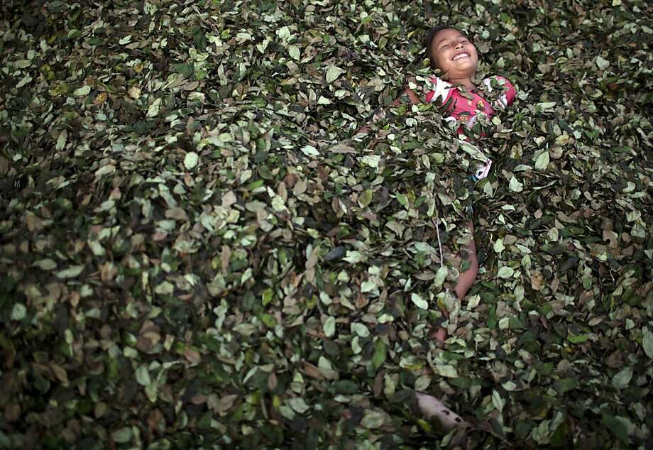 In this Sept. 25, 2013 photo, a girl plays in a bed of coca leaves, in the village of Trincavini in Peru's Pichari district. Pichari lies on the banks of the Apurimac river in a valley that the United Nations says yields 56 percent of Peru's coca leaves, the basis for cocaine. Coca is central to rituals and religion in Andean culture but in recent decades has become more associated with global drug trafficking. (AP Photo/Rodrigo Abd) Photo: Rodrigo Abd, Associated Press