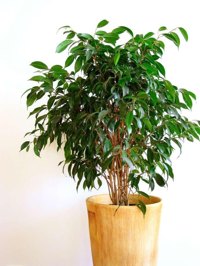 Ficus Photo: Elena Elisseeva