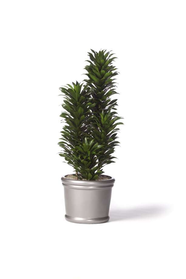Aspidistra `Janet Craig' draceana Photo: Courtesy Initial Tropical Plants