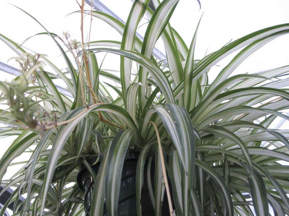 Spider plant Photo: Lee Reigh, AP