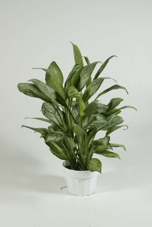 Chinese evergreen Photo: Buster Dean, Houston Chronicle