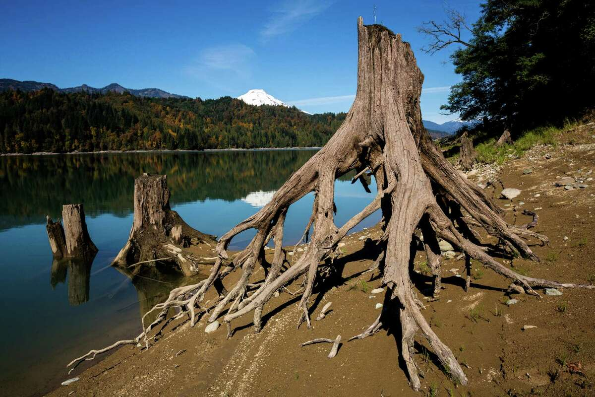 Dead trees expose their root systems on the shore of Lake Shannon Sunday, Oct. 6, 2013, near Concrete.