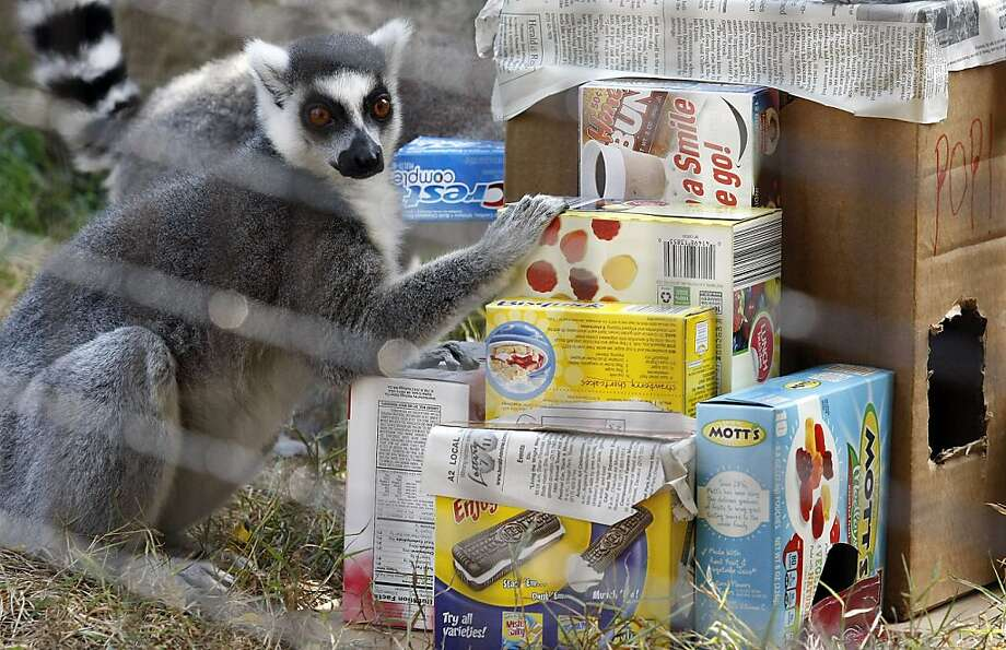 What the ... these food boxes are empty! A lemur at the Scovill Zoo inspects an 