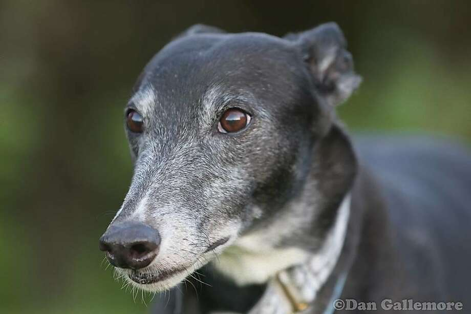 Jemmy turned out to be a protective dog, unlike most greyhounds, who are known for being bad guard dogs because they rarely bark. Photo: Dan Gallemore