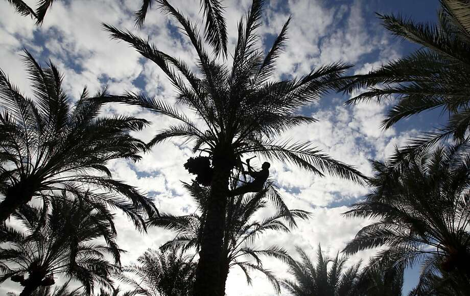 "A Palestinian farm worker climbs a palm tree to pick dates on a farm in Deir El Balah, southern Gaza Strip, Monday, Oct. 7, 2013. The harvesting season for dates usually starts at the beginning of October, after the first rain. The community of Deir El Balah takes its name from the word ""balah"", an Arabic word for dates.(AP Photo/Hatem Moussa) Photo: Hatem Moussa, Associated Press"