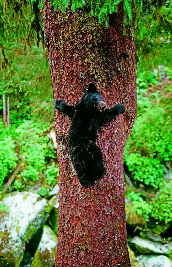 SUMMER | AlaskaA bear cub tests out its climbing skills in its efforts to get a good look at visitors on the nearby viewing stand.  (From National Geographic's 'Four Seasons of Travel') Photo: Thomas Sbampato, Alaska Stock LLC/National Geographic Stock
