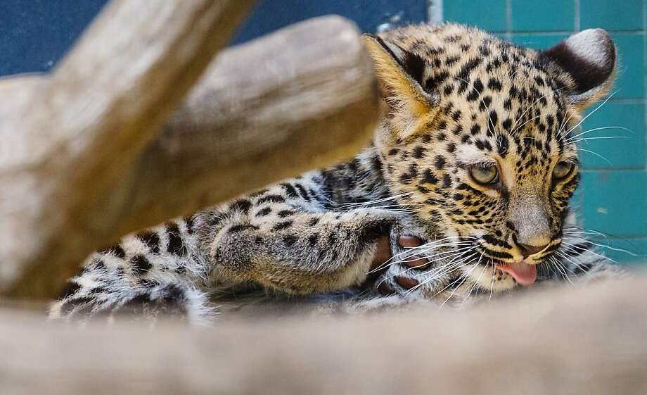 Spot cleaning:Shiva, a 3-month-old Persian leopard cub, gives herself a bath at the Berlin Zoo. Photo: Hannibal Hanschke, AFP/Getty Images