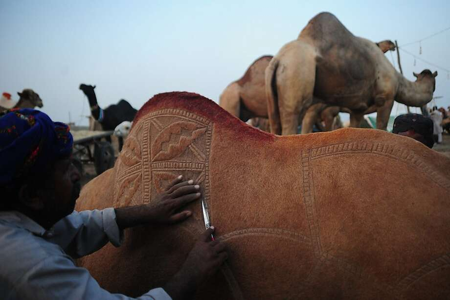 Hump appeal: A Pakistani livestock trader snips a design into his camel's coat to attract buyers at an animal 