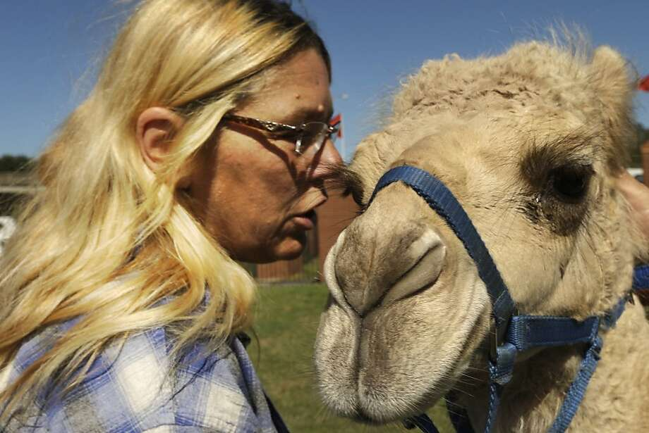 No spitting on the paying customers, OK? Sandy Hardman talks to a baby camel as she sets up a petting zoo at the State Fairgrounds in Little Rock, Ark. Photo: Danny Johnston, Associated Press