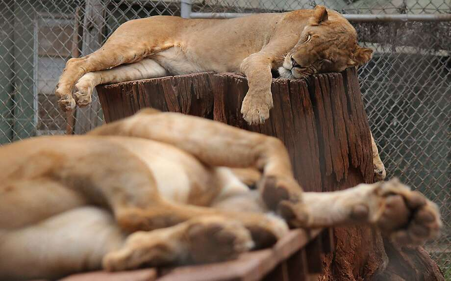 The pride of Kenya is totally exhausted. (Lazy lions at the Kenya Wildlife Service in Nairobi.) Photo: Simon Maina, AFP/Getty Images