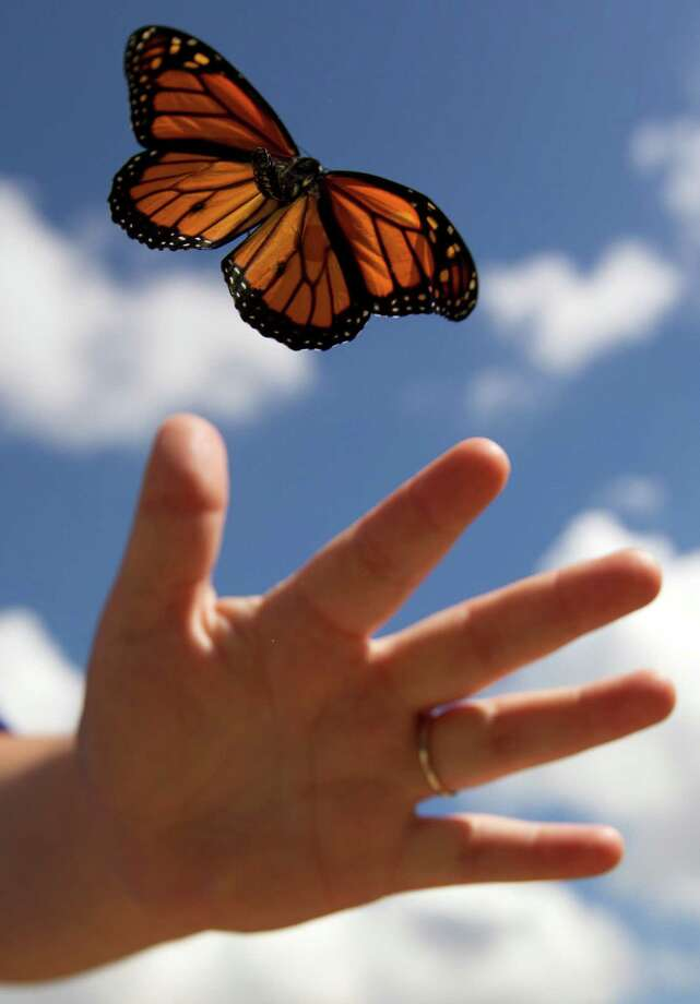 A monarch butterfly is tagged then released at the Spring Creek Greenway Nature Center for its migration to Mexico. (J. Patric Schneider) Photo: J. Patric Schneider, Freelance / © 2013 Houston Chronicle