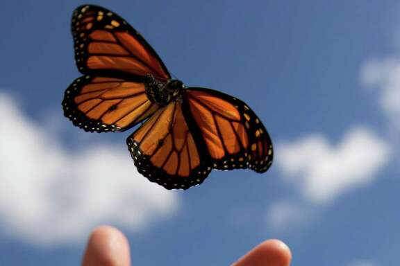A monarch butterfly is tagged then released at the Spring Creek Greenway Nature Center for its migration to Mexico. (J. Patric Schneider)