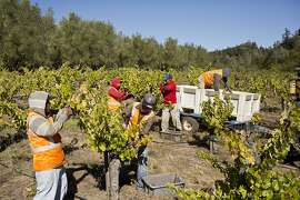 Workers harvest cabernet grapes at Spring Mountain Vineyard in St. Helena, Calif., Friday, October 4, 2013.