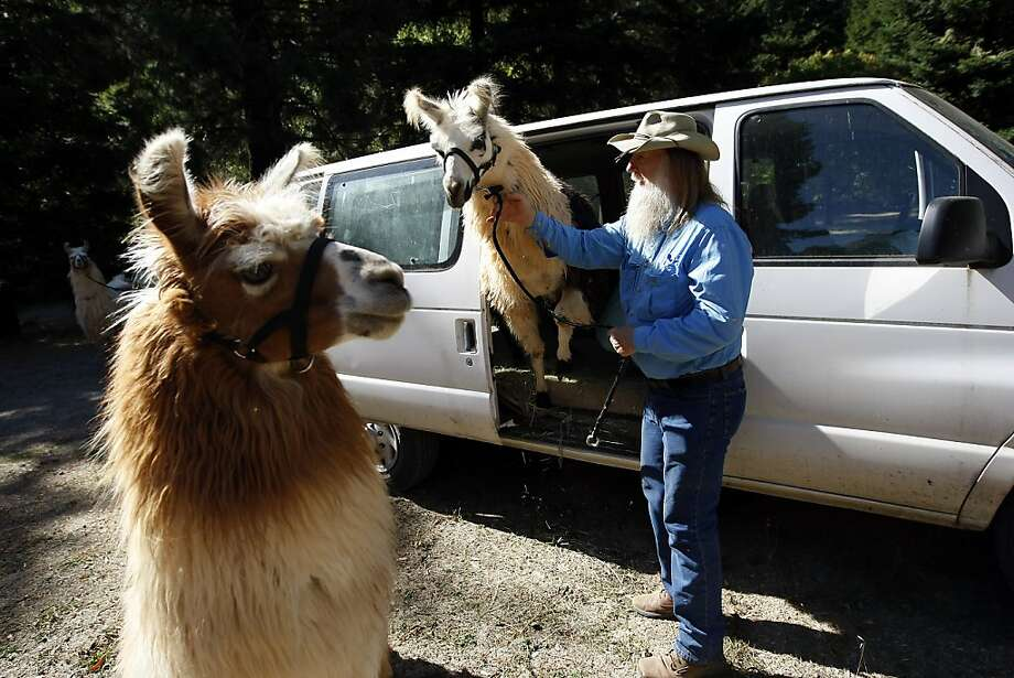 George Caldwell helps his llamas out of his van during one of their regular visits to Redwood Regional Park. Photo: Michael Short, The Chronicle