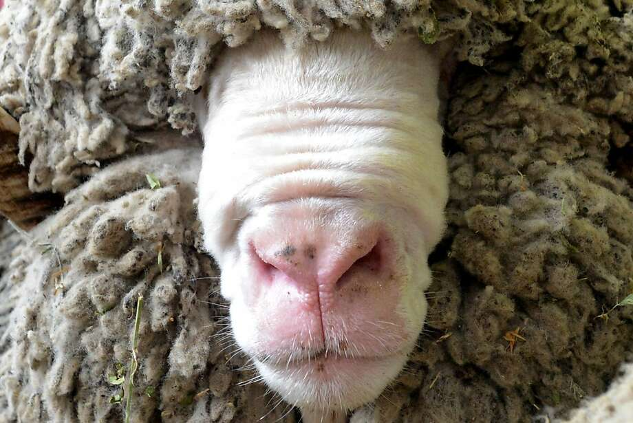 Any last words?The folds of a sheep's face resemble a blindfold at the National Agricultural Exhibition in Moscow. Photo: Kirill Kudryavtsev, AFP/Getty Images