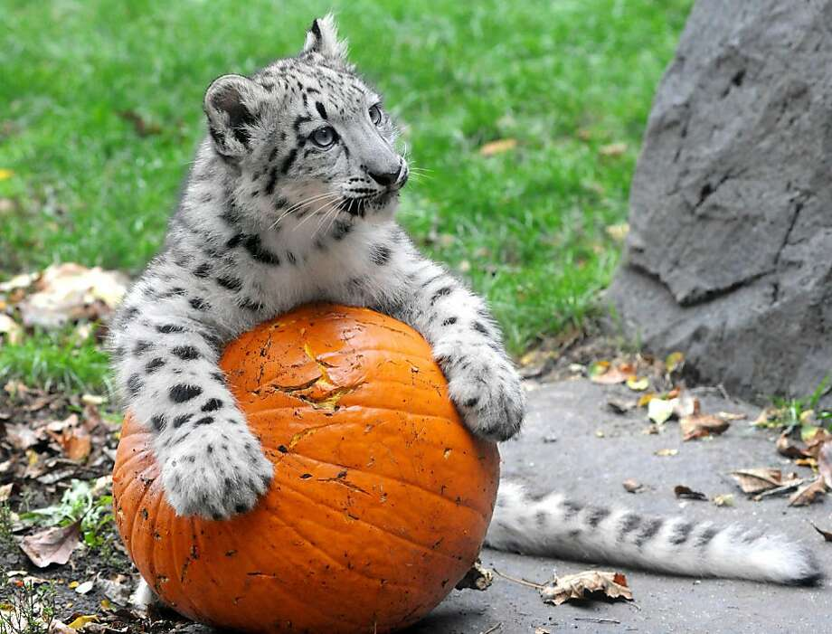 Pumpkins are just big cat toys:You can roll 'em, sharpen your claws on 'em or bite 'em, as Everest the snow leopard cub demonstrates at the Brookfield Zoo near Chicago. Photo: Jim Schulz, Associated Press