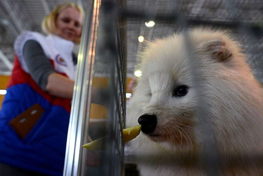 """Mango slice?Banana slug?According to the AFP caption, this pooch at the National Agricultural Exhibition in Moscow is a """"raccoon dog,"""" though it doesn't look much like its namesake. But what is it sniffing? Photo: Kirill Kudryavtsev, AFP/Getty Images"""