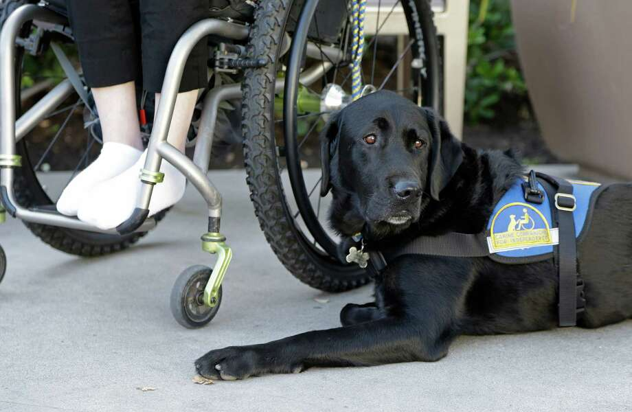 "In this photo taken Tuesday, Oct. 8, 2013, Caspin a service dog sits below Wallis Brozman outside at a shopping mall in Santa Rosa, Calif. Other victims of unruly fake service dogs are real service dogs, said Brozman, 27, of Santa Rosa. She has dystonia, a movement disorder that left her unable to walk and barely able to talk. She needs a wheelchair, voice amplifier and her service dog who responds to English and sign language. ""When my dog is attacked by an aggressive dog, he is not sure what to do about it and looks to me. It becomes a safety issue, not only for my dog, the target of the attack, but me if I am between the dogs,"" Brozman said. Photo: Eric Risberg, AP / AP"