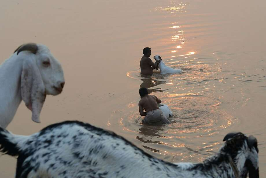 Scrubbed before market: Pakistani livestock traders wash their goats in a river ahead of the Muslim Eid al-Adha festival in Lahore. The 