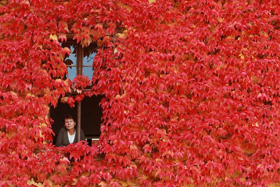 An ivy-covered homein Ballenstedt, Germany, changes color with the seasons. Photo: Matthias Bein, AFP/Getty Images