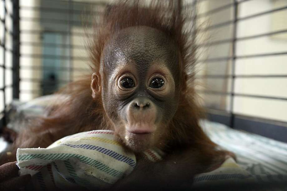 """Apes in peril:An endangered Borneon orangutan died Thursday at the Surabaya Zoo - Indonesia's """"death zoo"""" - the   latest in a rash of suspicious animal deaths. The deaths have prompted calls to close the facility to save   other orangs, like baby Rizki here. Photo: Juni Kriswanto, AFP/Getty Images"""