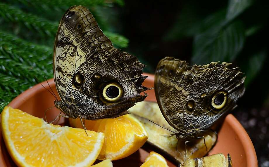 Two owl butterflies drink from orange wedges at the butterfly conservatory in the American Natural History Musem in New York. Owl butterflies' coloration mimics the raptor's eyes in order to scare off predators. Photo: Emmanuel Dunand, AFP/Getty Images