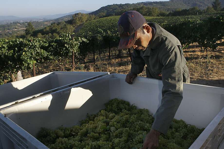 Ruben Garcia levels grapes in bins during the Chardonnay harvest at Sonoma's Hanzell Vineyards, one of the state's defining spots for the variety. Photo: Liz Hafalia, The Chronicle