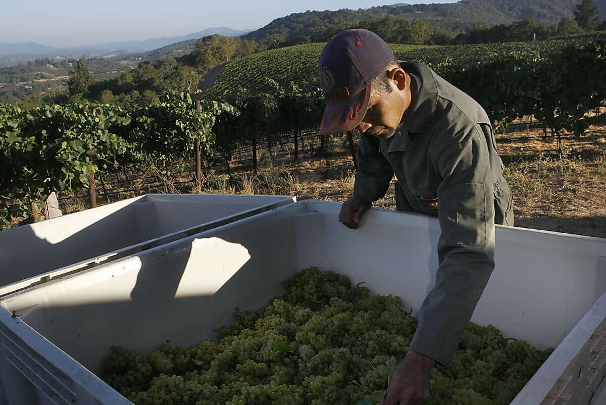 Grapes being placed in the bins as chardonnay is being harvested at Hanzell Vineyards in Sonoma, Calif., with Ruben Garcia leveling the grapes as they are taken in on Thursday, August 30, 2012.