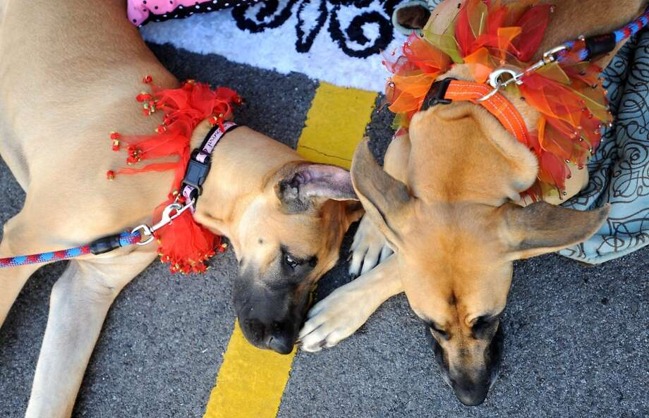 Marmalade and Kennedy take a break during Dogtoberfest downtown Beaumont, Saturday. Tammy McKinley/The Enterprise Photo: AP