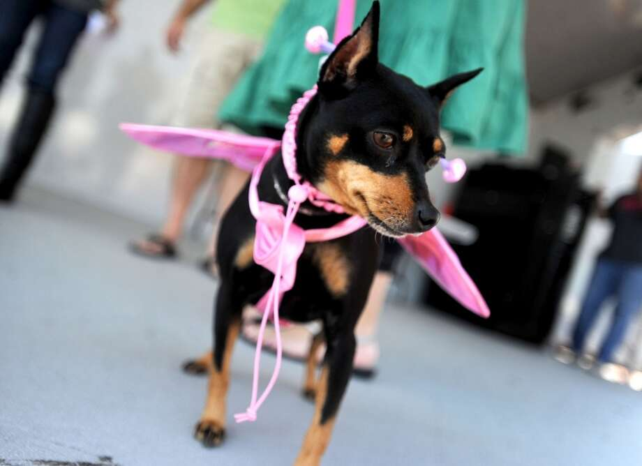 Daisy competes in the Dog/Owner look-a-like contest during Dogtoberfest downtown Beaumont, Saturday. Tammy McKinley/The Enterprise Photo: AP